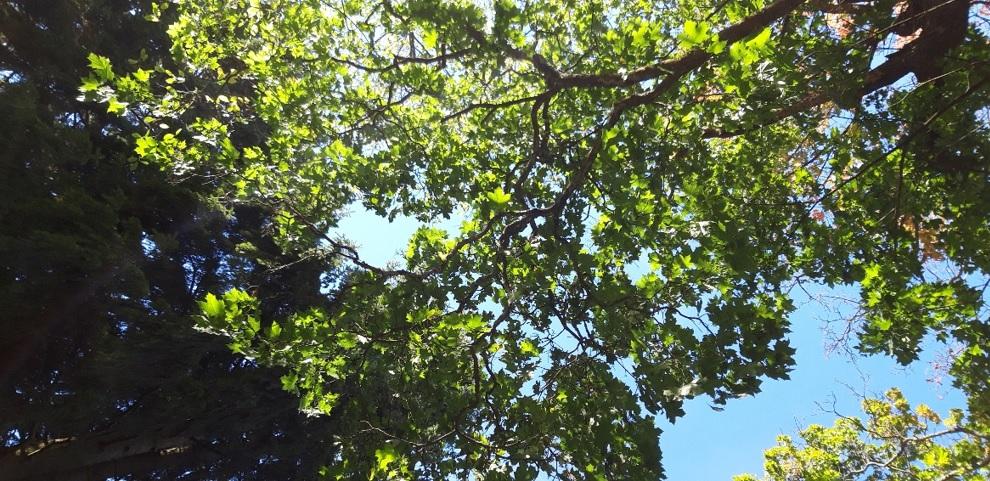 Puun latvustoa, jossa on vihreät lehdet.