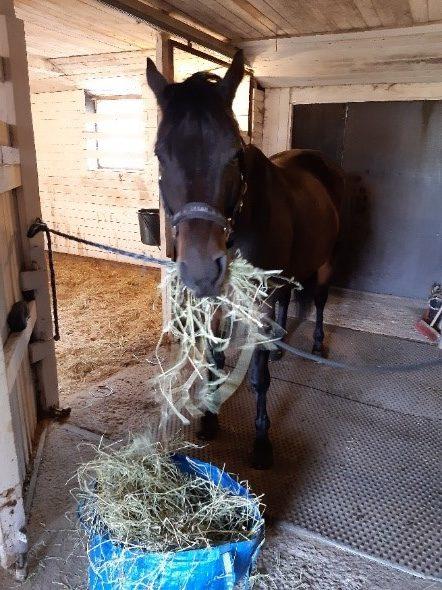Hevonen syö heinää tallissa.